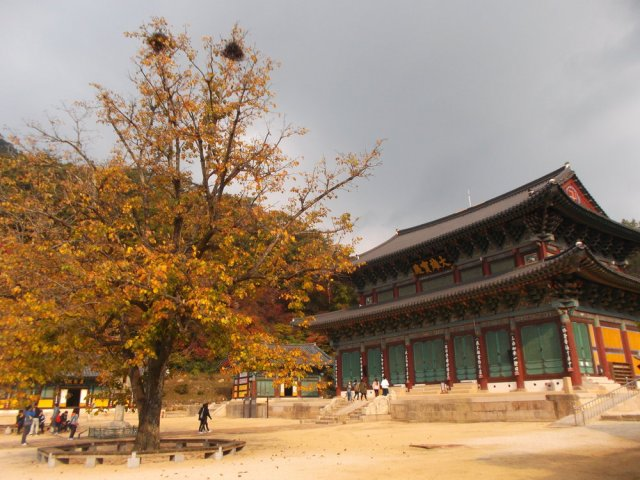 On the left is a tree with yellow leaves and, in the highest reaches, two brown birds' nests. Below the tree with see tiny figures, which are people. On the right is the dharma hall, the largest building in the temple.