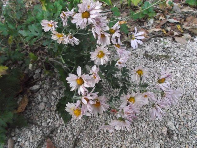 Purple tinted daisies