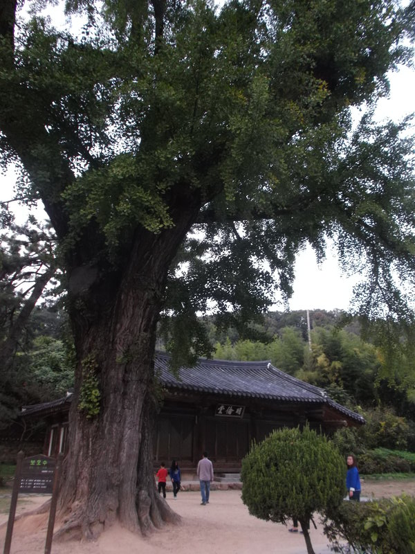 An old tree and building near the hanok where the pansori performance took place